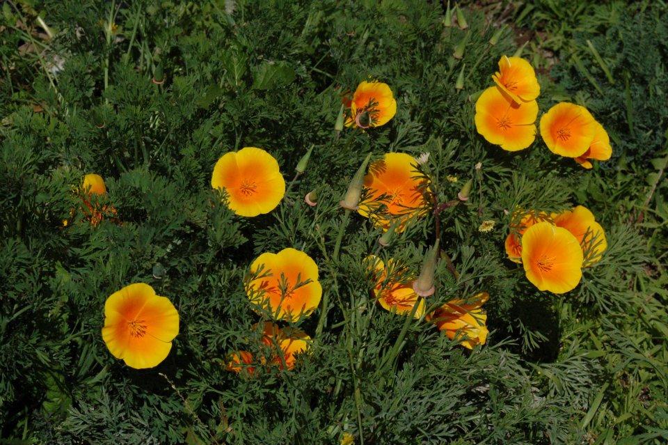 landscape-poppies